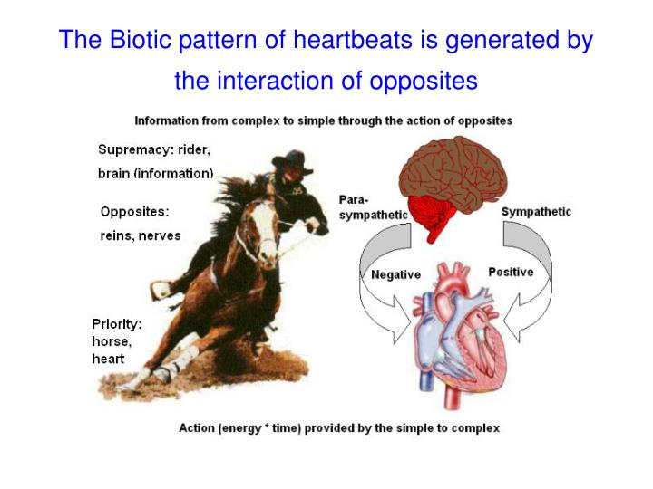 The Biotic pattern of heartbeats is generated by the interaction of opposites