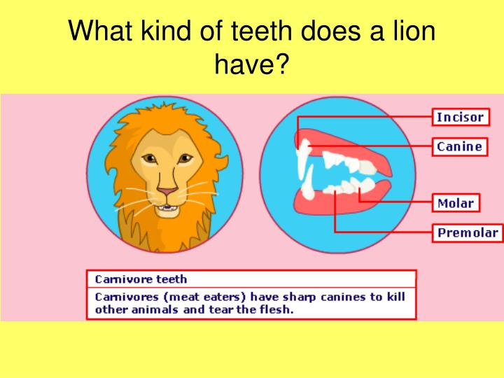 What kind of teeth does a lion have?