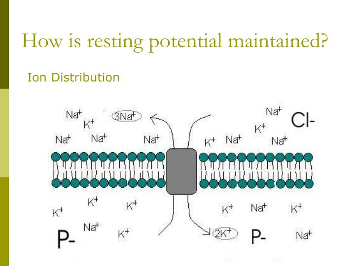 How is resting potential maintained?