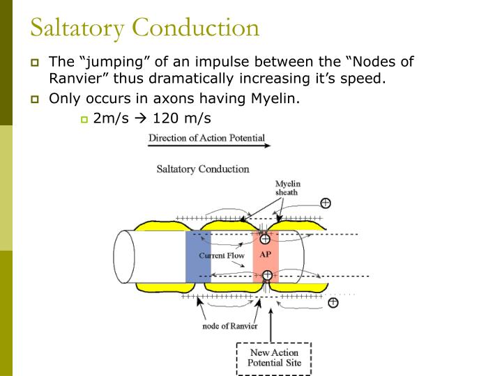 Saltatory Conduction