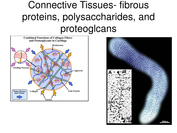 Connective Tissues- fibrous proteins, polysaccharides, and proteoglcans