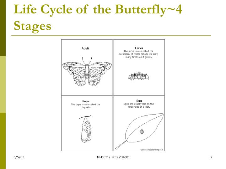 Life cycle of the butterfly 4 stages