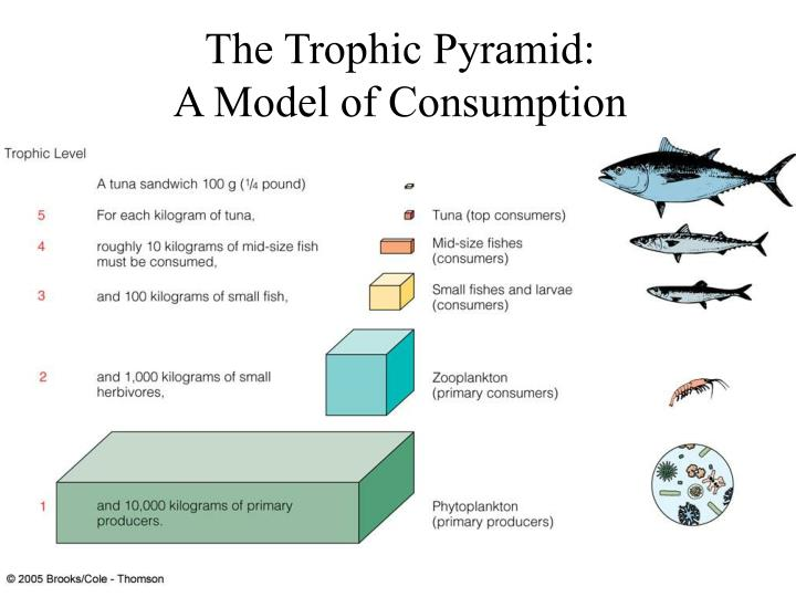 The Trophic Pyramid: