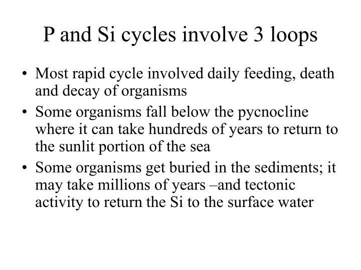 P and Si cycles involve 3 loops