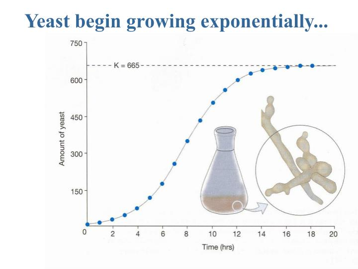 Yeast begin growing exponentially...