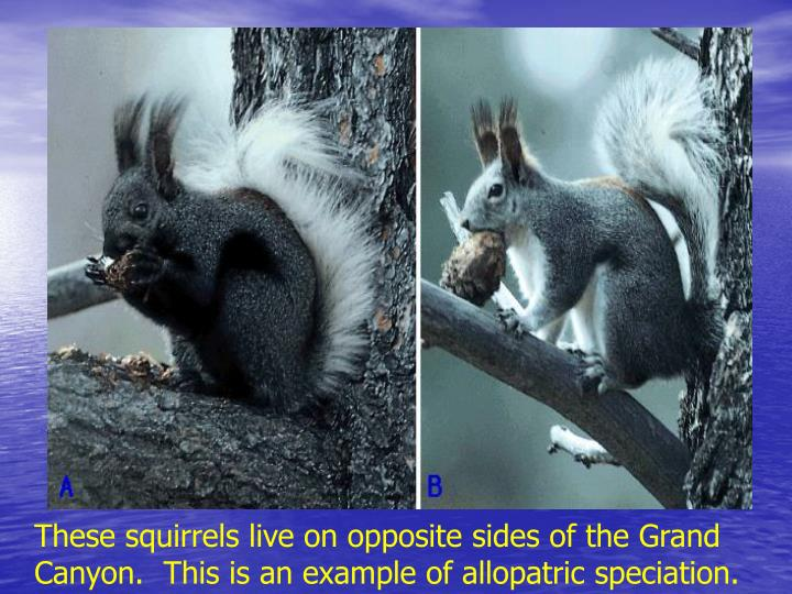 These squirrels live on opposite sides of the Grand Canyon.  This is an example of allopatric speciation.