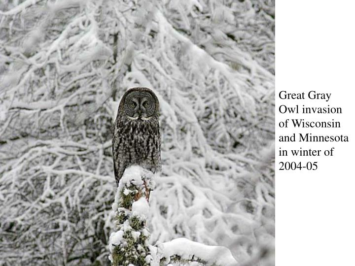 Great Gray Owl invasion of Wisconsin and Minnesota in winter of 2004-05