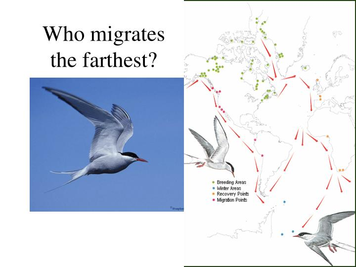 Who migrates the farthest?
