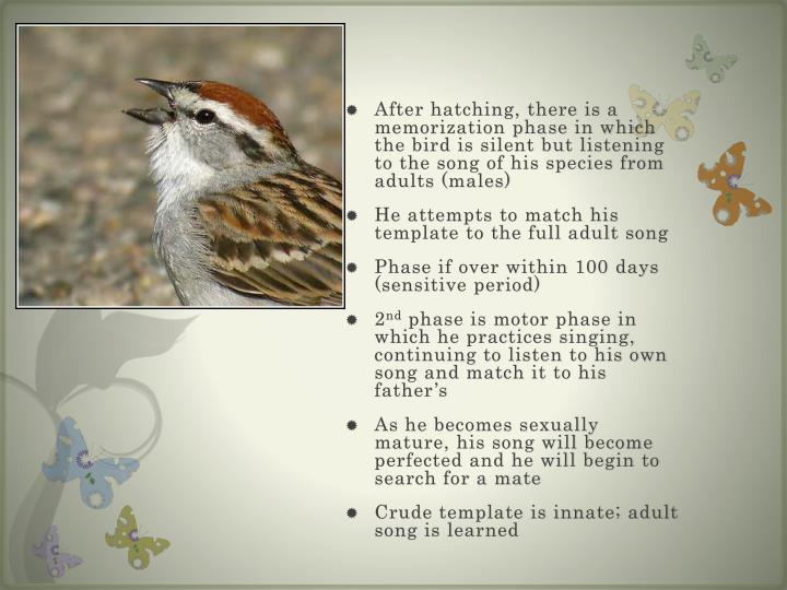 After hatching, there is a memorization phase in which the bird is silent but listening to the song of his species from adults (males)
