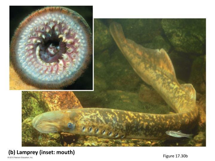 (b) Lamprey (inset: mouth)