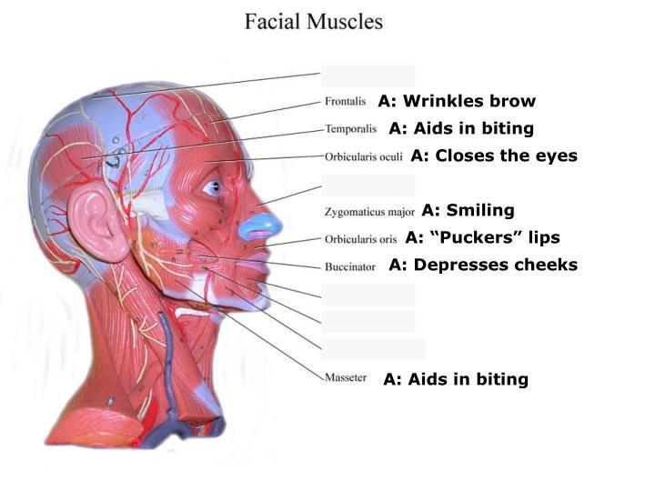 A: Wrinkles brow