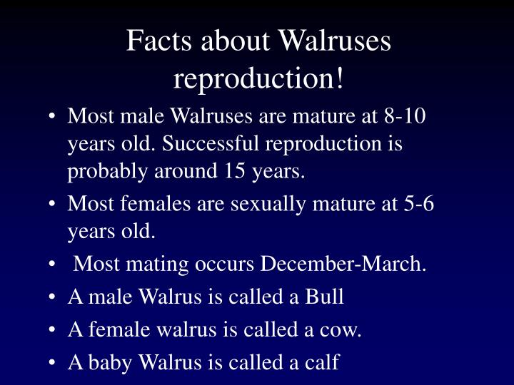 Facts about Walruses reproduction!