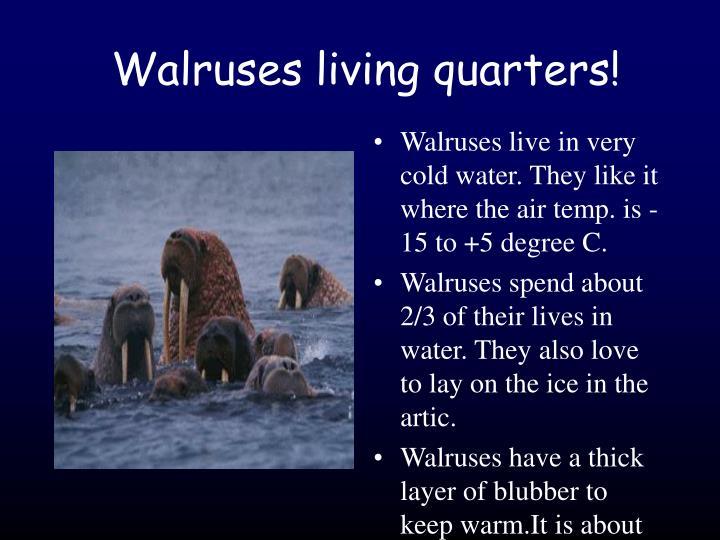 Walruses living quarters!