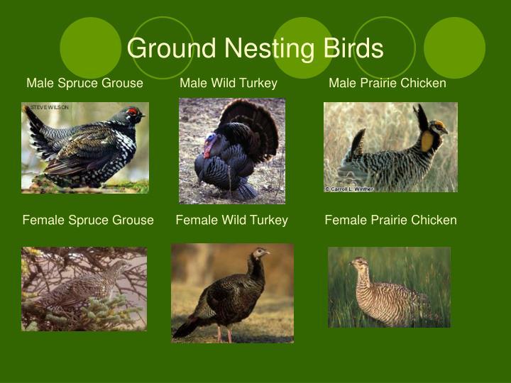 Ground Nesting Birds