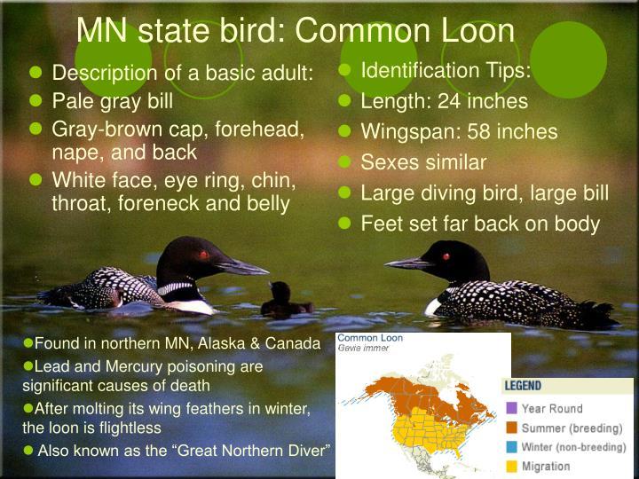 MN state bird: Common Loon