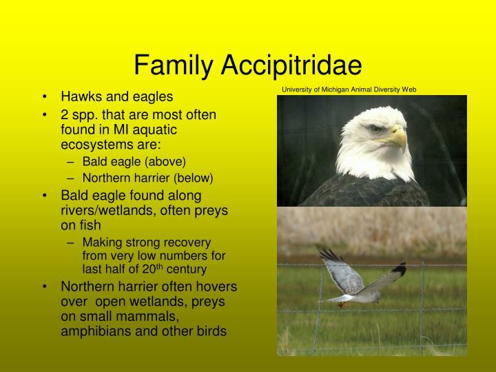 Family Accipitridae