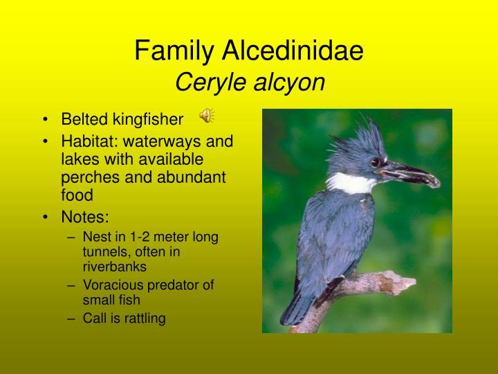 Family Alcedinidae