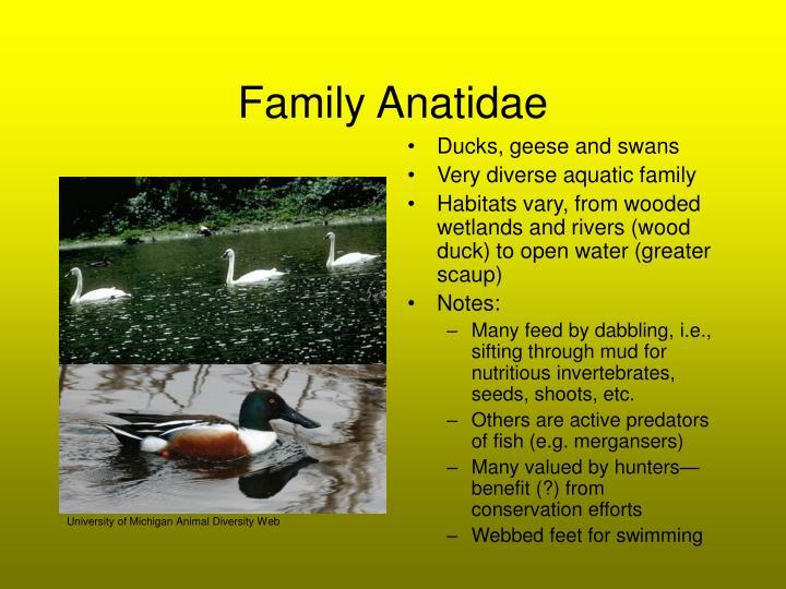 Family Anatidae