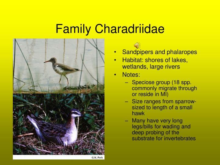 Family Charadriidae