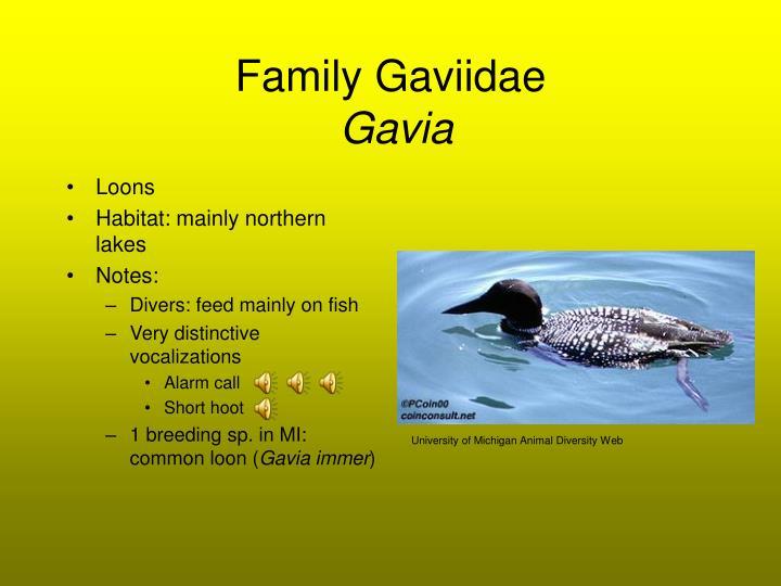 Family Gaviidae