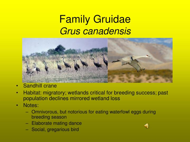 Family Gruidae