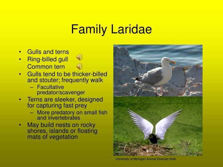 Family Laridae