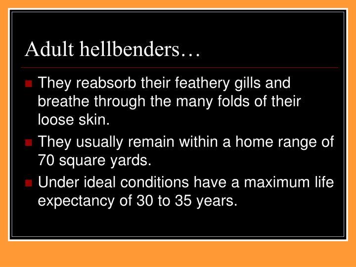 Adult hellbenders…