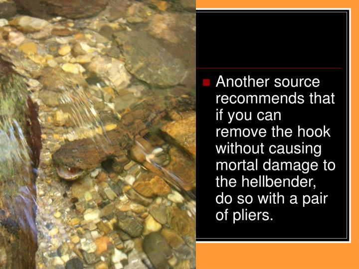 Another source recommends that if you can remove the hook without causing mortal damage to the hellbender, do so with a pair of pliers.