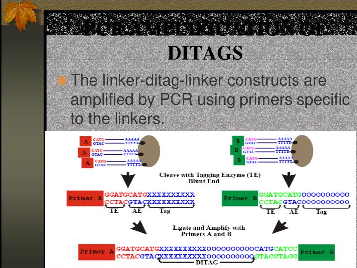 PCR AMPLIFICATION OF DITAGS