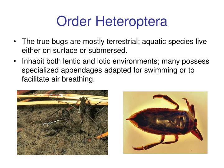 Order Heteroptera
