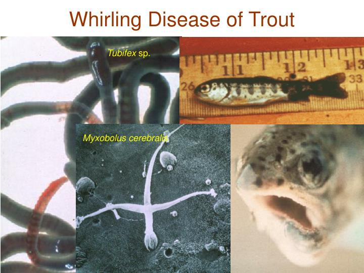 Whirling Disease of Trout