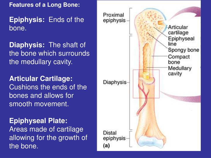 Features of a Long Bone: