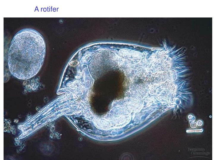 A rotifer