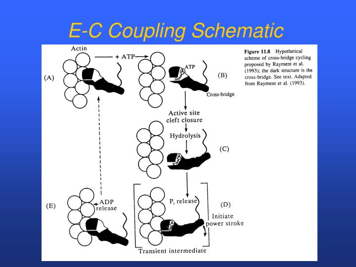 E-C Coupling Schematic