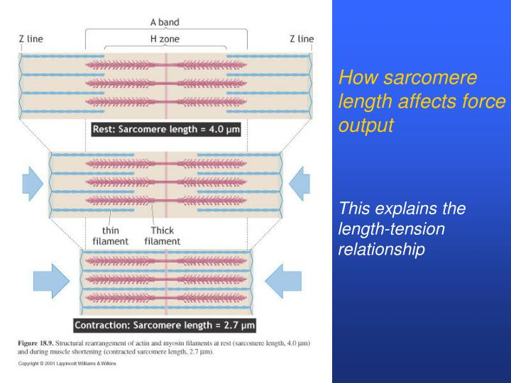 How sarcomere length affects force output