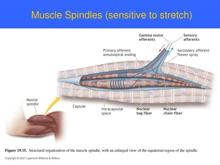 Muscle Spindles (sensitive to stretch)