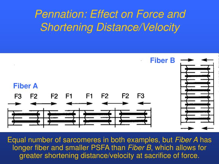 Pennation: Effect on Force and Shortening Distance/Velocity