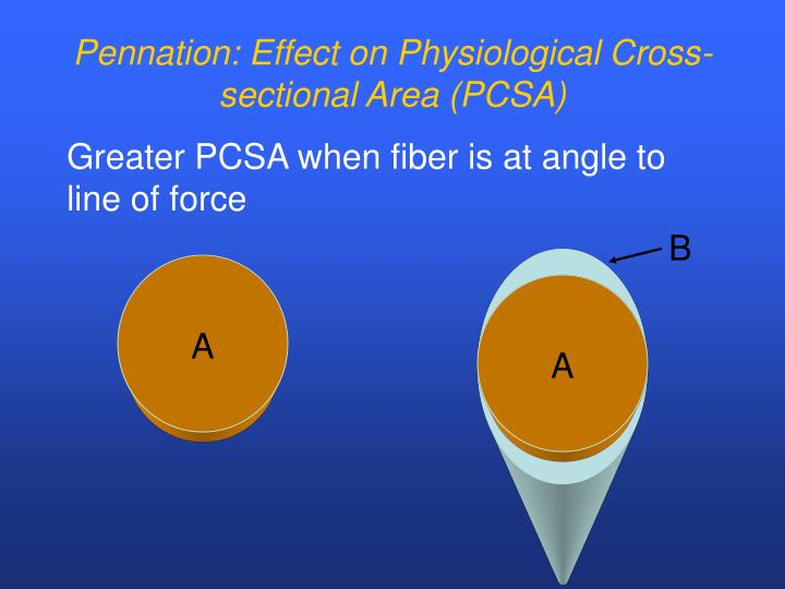 Pennation: Effect on Physiological Cross-sectional Area (PCSA)