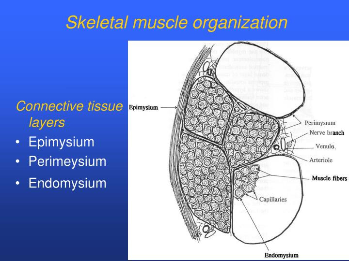 Skeletal muscle organization