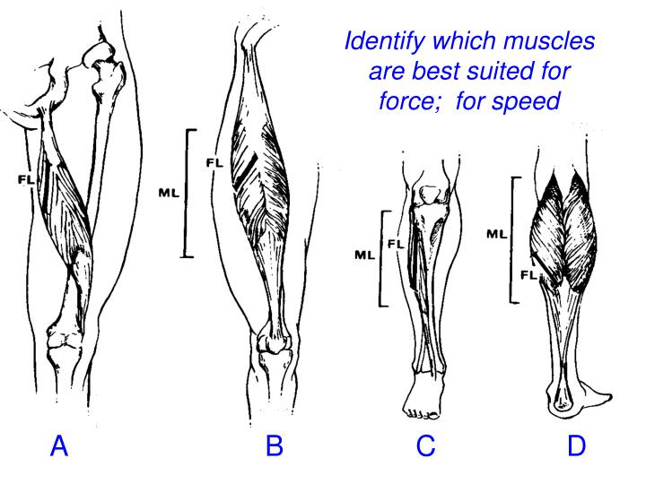 Identify which muscles are best suited for force;  for speed