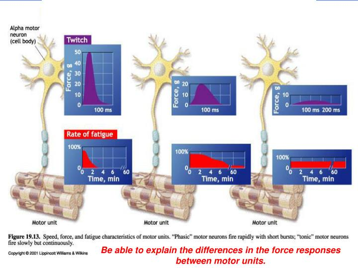 Be able to explain the differences in the force responses between motor units.