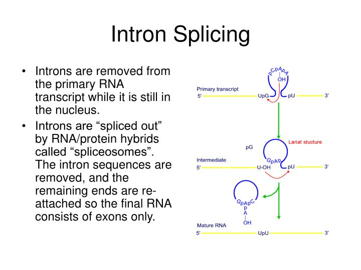 Intron Splicing