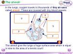 the alveoli