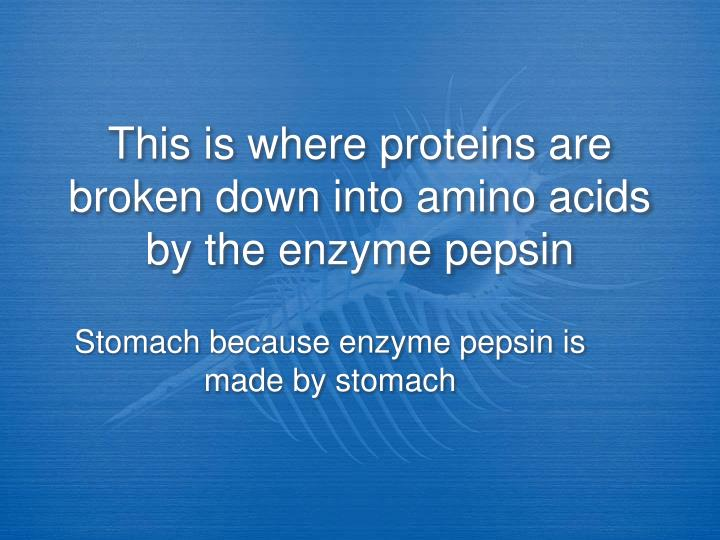 This is where proteins are broken down into amino acids by the enzyme pepsin