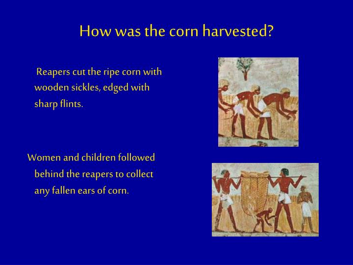 How was the corn harvested?
