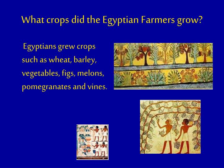 What crops did the Egyptian Farmers grow?