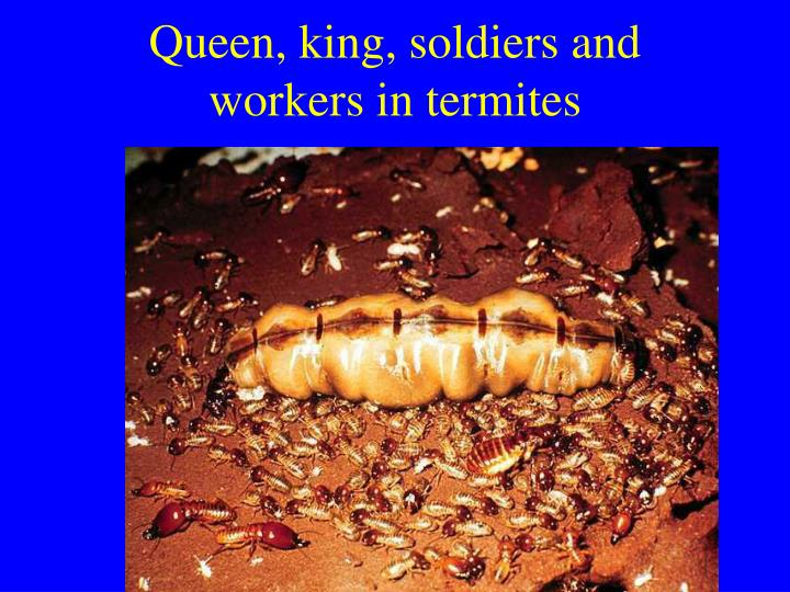 Queen, king, soldiers and workers in termites