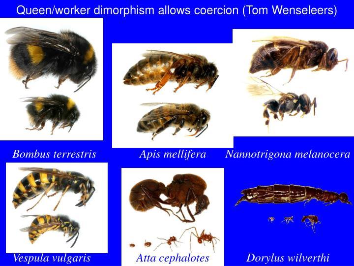 Queen/worker dimorphism allows coercion (Tom Wenseleers)