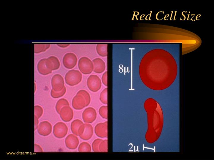 Red Cell Size