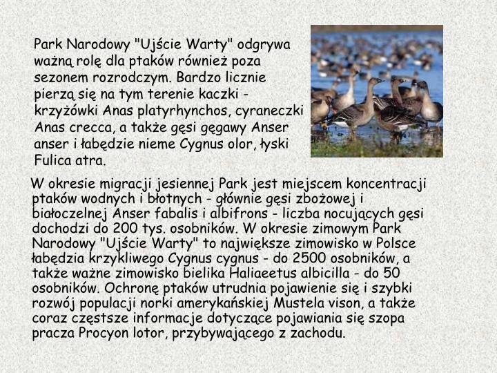 """Park Narodowy """"Ujście Warty"""" odgrywa ważną rolę dla ptaków również poza sezonem rozrodczym. Bardzo licznie pierzą się na tym terenie kaczki - krzyżówki Anas platyrhynchos, cyraneczki Anas crecca, a także gęsi gęgawy Anser anser i łabędzie nieme Cygnus olor, łyski Fulica atra."""